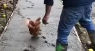 Esta gallina no quiso cruzar la calle... ¡pero sí arruinar una banqueta!