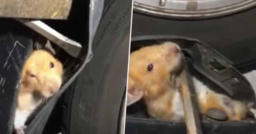 Hámster atorado en un coche