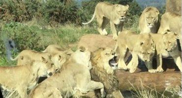 Naturaleza brutal: un grupo de leonas ataca a un macho en un safari