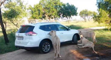Microinfarto: Nunca descuides la puerta de tu coche frente a leones