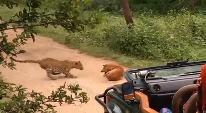 Perro vs leopardo ¿quién ganará? Este video te sorprenderá