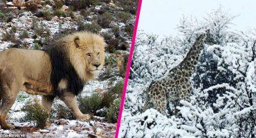 ¿Imaginaste a elefantes en la nieve? Mira lo sucedido en Sudáfrica
