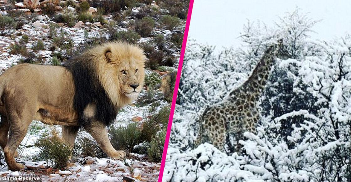 elefantes-jirafas-nieve-sudafrica-fotos