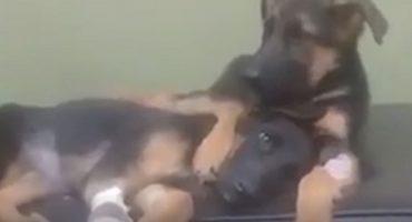 Explosión de ternura: Un perrito consuela a su hermano en el veterinario