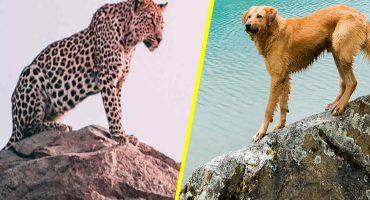 Perro vs leopardo ¿quién ganará?  Este vídeo te sorprenderá
