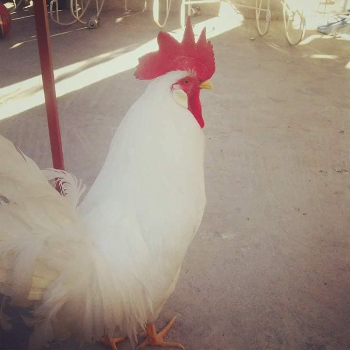Las tiernas fotos que plasman el crecimiento de este pollito de feria