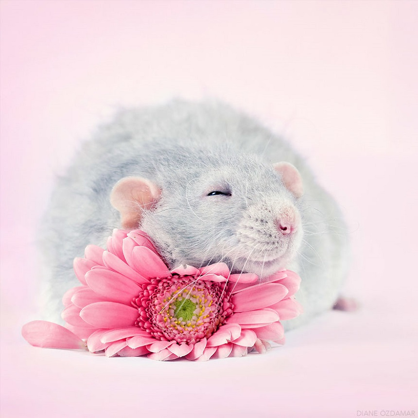 Ratas adorables – Sesión de fotos
