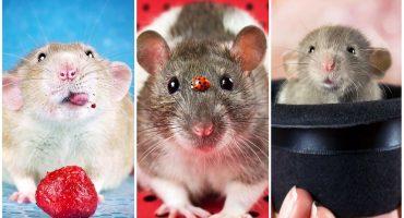 Estas fotos demuestran que las ratas también pueden ser adorables