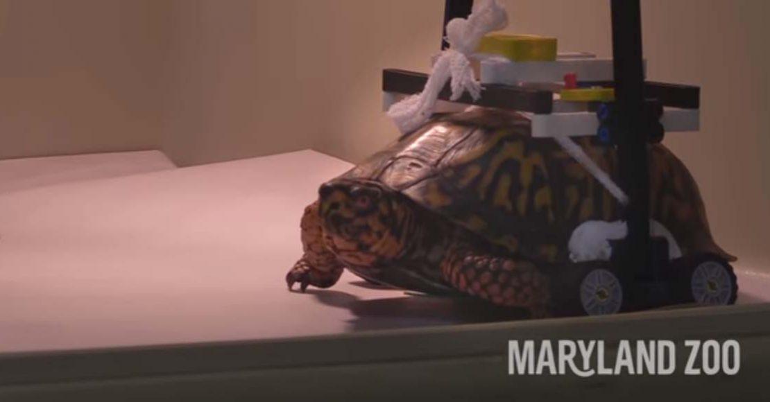 Crean silla de ruedas con LEGOS para una tortuga que no puede caminar
