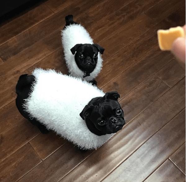 10 cosas por las que amamos a los pug