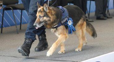 ¿Quieres adoptar un oficial canino jubilado de la Policía Federal? Acá te dejamos los requisitos ❤️