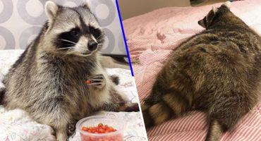 Ternura o sobrepeso: Este mapache gordito es la sensación de internet