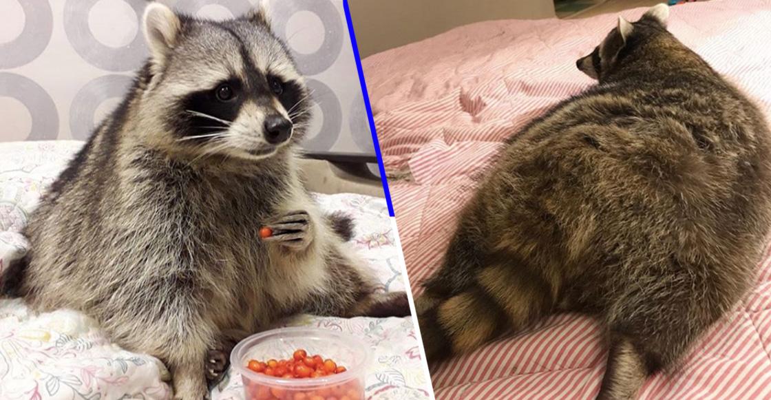 mapache-gordo-instagram-viral