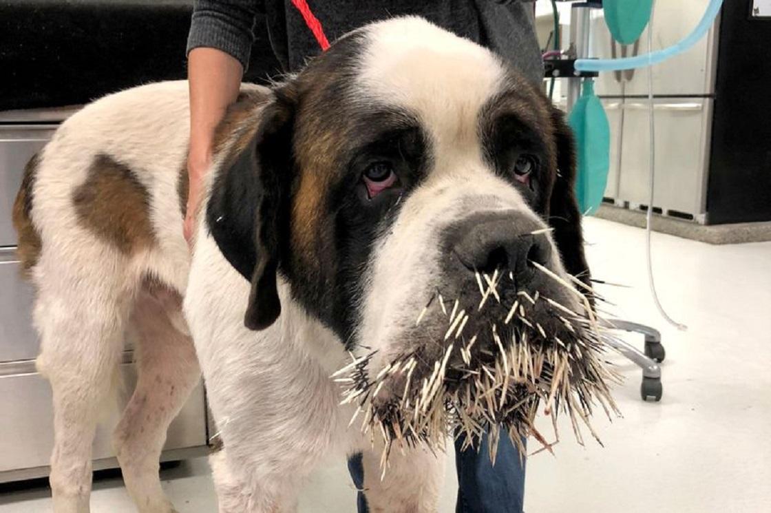Ruckus, el perro que salió herido tras morder a un puercoespín