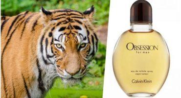 Fragancia Calvin Klein, la mejor arma para atrapar a una tigresa 🐯