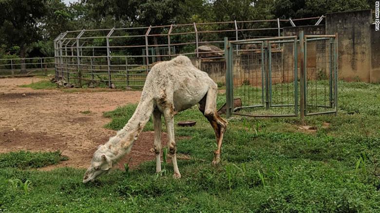 critican-zoologico-camello-desnutrido
