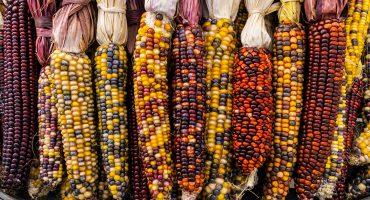 ¿Pirateando o qué hace? Universidades de EUA dicen haber descubierto un maíz mexicano