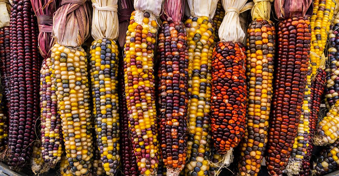 universidades-piratean-maiz-milenario-mexicano
