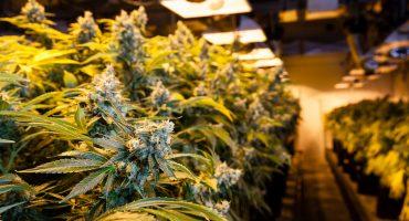 Y ahora, el PRI por va por la despenalización de la marihuana con fines recreativos