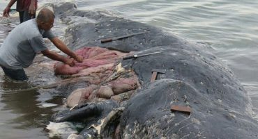Mundo enfermo y triste: Mil piezas de plástico fueron encontradas en una ballena muerta