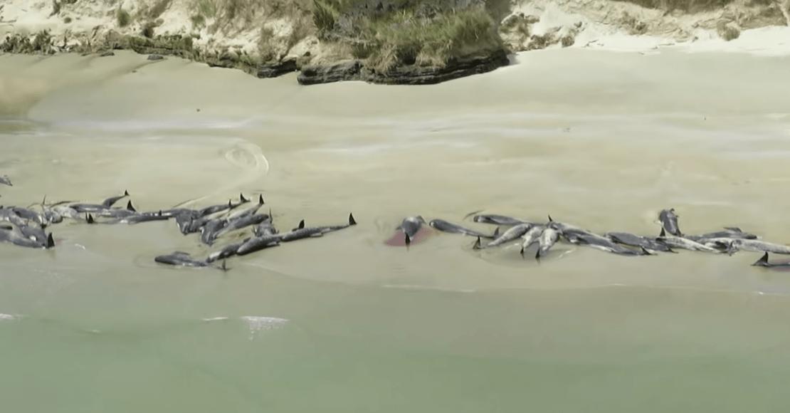 ballenas-nueva-zelanda-encalladas