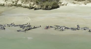 Mundo triste: Mueren casi 150 ballenas encalladas en Nueva Zelanda