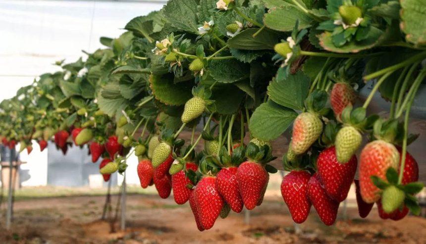 Australia y Nueva Zelanda en pánico por fresas envenenadas con agujas