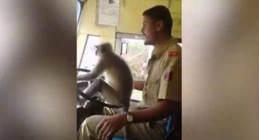 Suspenden a un conductor de autobús por... ¿dejar a un mono conducir?