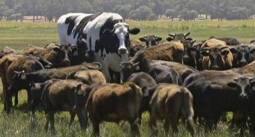 ¡Si está regrandota! Acá te contamos qué onda con Knickers, la 'vaca' gigante que se ha hecho viral