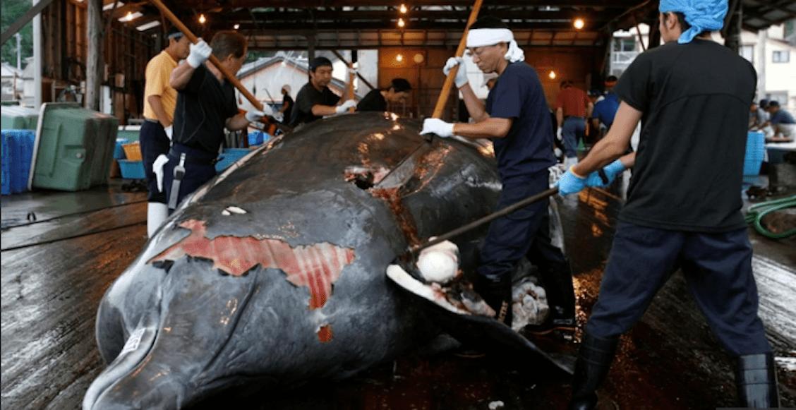 Mundo enfermo y triste: Japón anuncia que reanudará la caza de ballenas en 2019