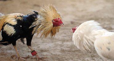 Lanzan iniciativa para que las Peleas de Gallos sean Patrimonio Cultural...