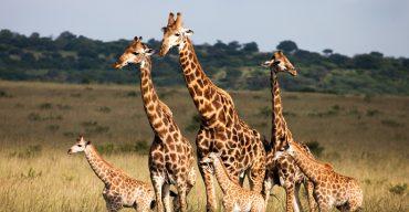 jirafas-peligro-extincion-lista-roja