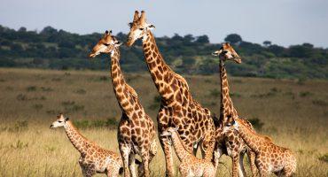 La hora sad: las jirafas ya están consideradas en 'peligro crítico de extinción'