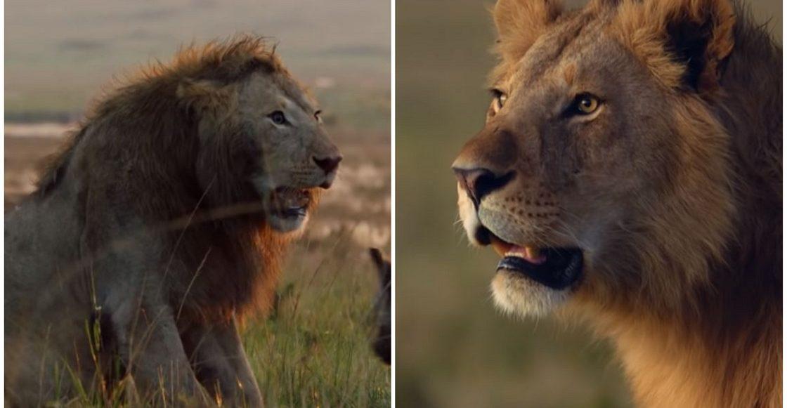 Leones que pelearon juntos contra las hienas