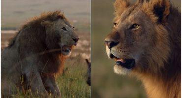 Estos dos leones prueban que el bromance existe en el mundo animal