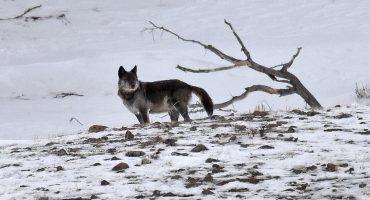 ¡Tragedia! Una famosa loba del parque Yellowstone, en Estados Unidos, fue asesinada por un cazador