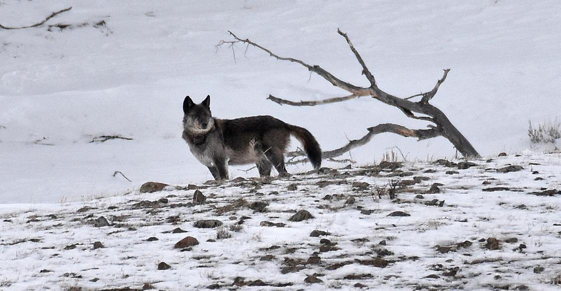 'Spitfire', la famosa loba de Yellowstone, muere en manos de cazador