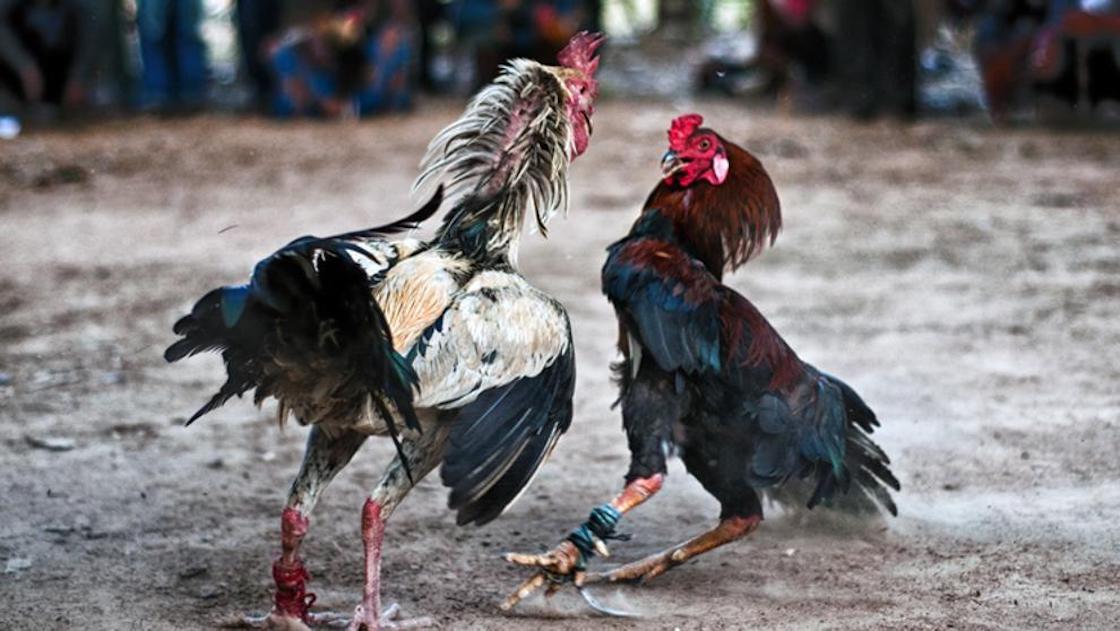 Peleas de gallos ¿cultuta o atrocidad?