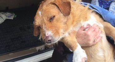 Mundo enfermo y triste: Dispararon 100 veces a un perrito con una pistola de aire comprimido