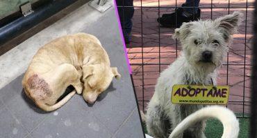 Ponen a perritos guadalupanos en adopción y aquí te decimos cómo llevarte uno