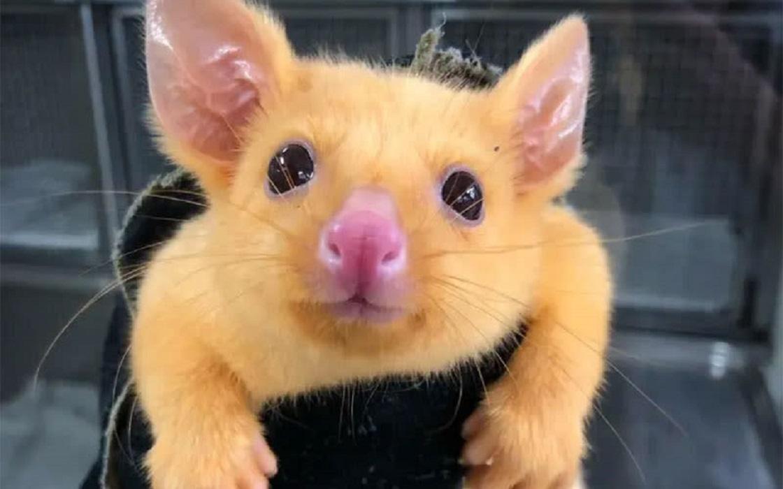 Pikachu - Zarigüeya