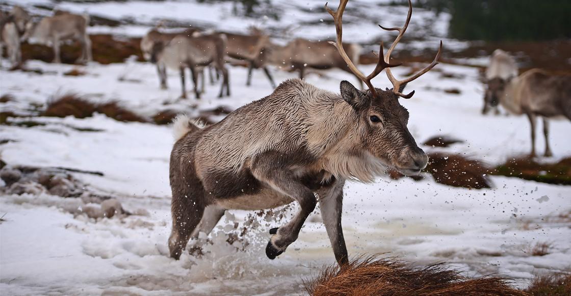 En las últimas décadas, la población de renos en el Ártico ha disminuido un 56%