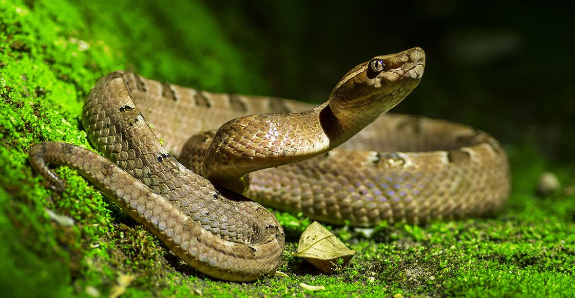 descubren-serpiente-dentro-otra-serpiente