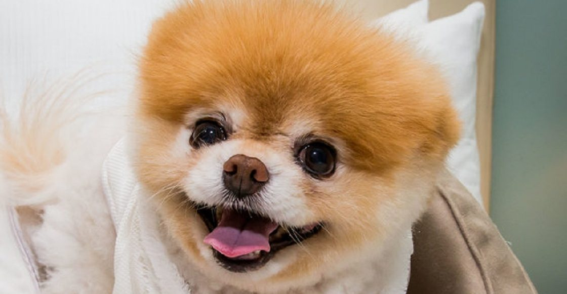 Boo, el perrito más lindo del mundo