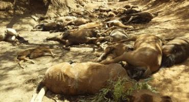 Onda de calor provoca muerte masiva de caballos en Australia