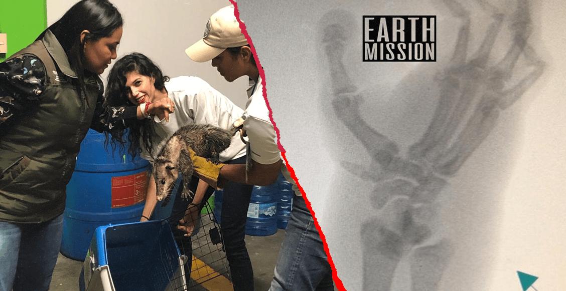 Jarochito, el tlacuache de Veracruz, es atendido de su lesión y descartan fractura
