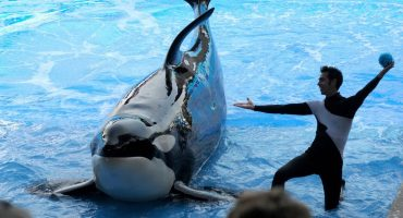 Kayla, una orca de 30 años, murió de una enfermedad
