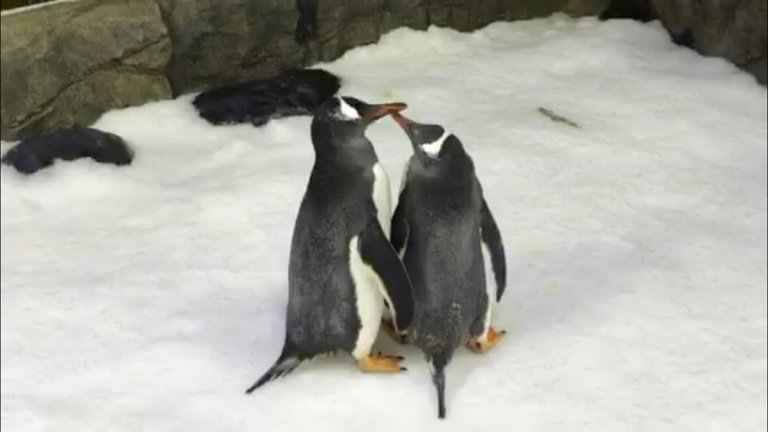 La emotiva historia de dos penguinos gay que adoptaron a un polluelo abandonado