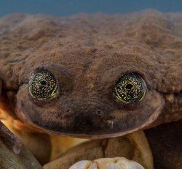 ¡Habrá fuego y pasión! Romeo, la rana más solitaria del mundo ya tiene pareja