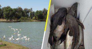 Por sobrepoblación de pez diablo, en Sonora van a secar la laguna delNáinari